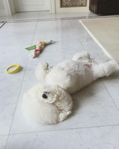 Bichon... This is my Sam's favorite position when he sleeps ❤