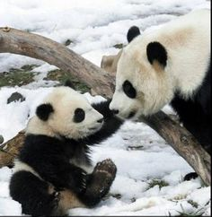 Google Image Result for http://www.peachygreen.com/wp-content/uploads/2010/12/mom-and-baby-panda-292x300.jpg