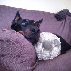 My new favourite toy. #beauceron #bergerdebeauce #basrouge #tyrion #tyrionthebeauceron #handsomedog #cutedog #ilovemydog #dogsathome #shepherd #instashepherd #croppedandloved #blackandtan #fetchtheball #fitdog #fitdogsofig #activedog #tireddog