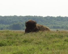 Bison at Shelby Farms, Memphis