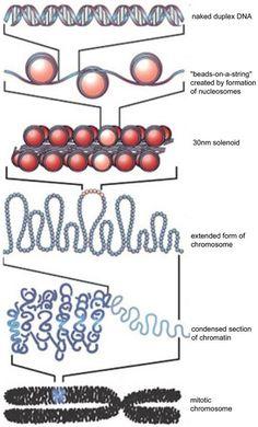 Great visual representing DNA: histones, chromosomes, nucleosomes.