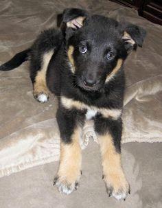 Mixed Breed: Border Collie / German Shepherd / Siberian Husky