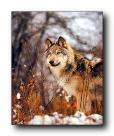 Absolutely marvelous! Bring this impressive nature plus grey wolf animal art print poster which displays the image of a grey wolf standing in a snow field looking at something with his big brown eyes will be a perfect addition to your home and bring character to your entryway, living room or bedroom in an unexpected way. Buy this stunning wall poster for its perfect quality and high degree of color accuracy.