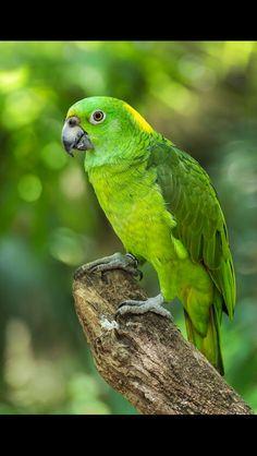 Aratinga verde o periquito verde