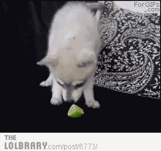 Puppy tries a lime for the first time (GIF, you need to open it :-) )