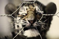 tiger cub.  Picture taken at Seaview Lion Park - Port Elizabeth, South Africa (2011) with a Canon EOS 5D Mark II.    Photographer: Erik van Ekelenburg