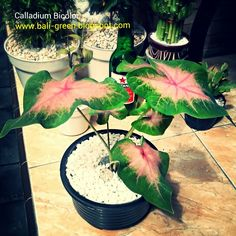 Calladium Bicolor For Sale in Denpasar Bali  Putra Garden +6281239611122