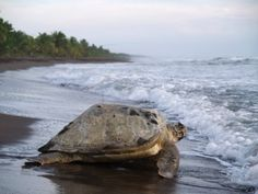 How cool is that? Carefully walking on the beach by night while the female sea turtles are laying eggs als big as ping pont balls (Tortuguero, Costa Rica).