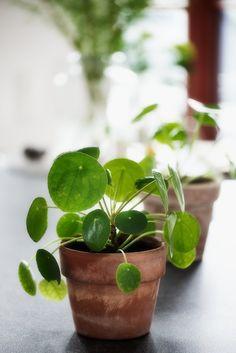 Pilea Peperomioides, Ufopflanze, Chinese Money plant