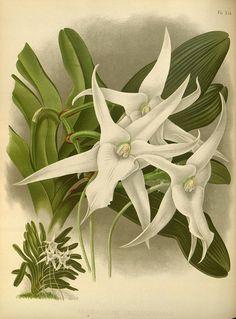 Angraecum sesquipedale, Orchid album : London :B. S. Williams,1882-97..