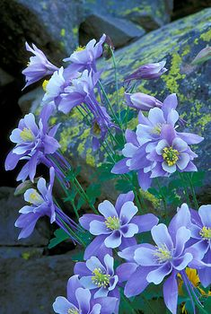 When Steve, I and the children hiked near Helen Hunt Falls in Co Springs, we saw these Columbine growing wildly all along the pathway! Photograph of Colorado Blue Columbine (CO state flower) in Yankee Boy Basin near Ouray, Colorado. Blue Flowers, Wild Flowers, Flowers Gif, Colorado Wildflowers, Colorado Mountains, Ouray Colorado, Gifs, Outdoor Landscaping, Amazing Flowers