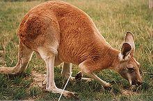 Red Kangaro..  #kangaroo  Visit our page here: http://what-do-animals-eat.com/kangaroos/