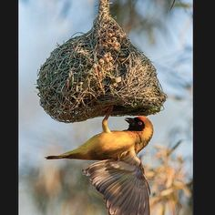 Exotic Nesting! #colorful #exotic #bird #prettybird #nest