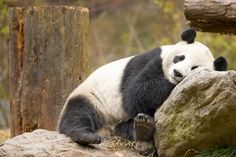 """For as long as I can remember, I have been afraid of pandas. Whereas most people watch these and think, """"aww!"""" and """"squee!,"""" I'm mesmerized by their demon eyes. In an attempt to justify my insanity, here are 5 reasons that pandas wouldn't make good best friends."""