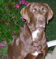 We just adoped a puppy that is likely chocolate lab and pointer. I wonder if he'll look like this some day? ---German Short Hair Pointer/Chocolate Lab <3