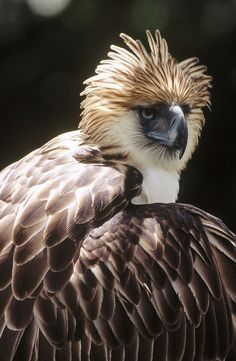 Isn't he beautiful? The Philippine eagle is the national bird of the Philippines. One of the largest eagles in the world and critically endangered. #Philippines #eagle #haribon