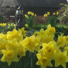 Daffodils in full bloom through March.