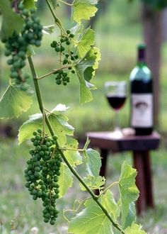 wine / Garden grapes by Elizabeth Browning ✿⊱╮