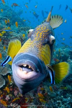 titan triggerfish. heard some horror stories about these things. more scared of these than anything.