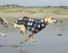 galloping greyhound
