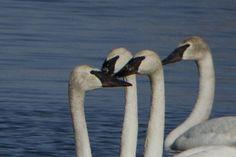 Swan love