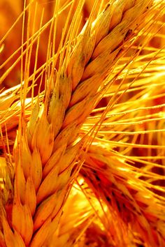 Golden Wheat.