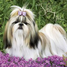 Just Shih Tzus Wall Calendar: These lively little dogs seem to know they're special! They're long flowing coats, sweet and perky personalities and proud carriage are just a few of the reasons these dogs are so immensely popular.  http://www.calendars.com/Shih-Tzus/Just-Shih-Tzus-2013-Wall-Calendar/prod201300006047/?categoryId=cat10140=cat10140#