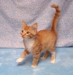 Middee is an adoptable Domestic Short Hair - Orange And White Cat in Cassopolis, MI. Middee is a wonderful 3 month old stray. He has deliberately put his past from his mind. He was found locked in a...