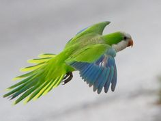Quaker Parrots of San Leon, TX by Dan Pancamo, via Flickr.......these things were super noisy!