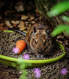 Degu, Spirit Guides, Squirrels, Creatures, Future, Animaux, Chipmunks, Future Tense, Squirrel
