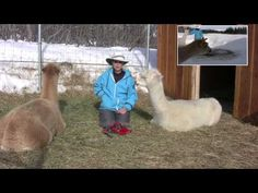 How to Potty Train Alpacas - YouTube