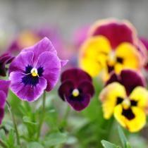 Récolter ses graines de fleurs et de légumes (Fiches conseils)