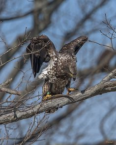 2016 Photograph, Immature Bald Eagle with a Fish (Haliaeetus leucocephalus), Pohick Bay Regional Park, Lorton, Virginia. © 2016.  A fish kill caused by a temperature inversion in the Bay attracted many immature and sub-adult Bald Eagles during the month of February.