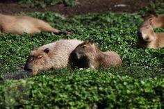 Capybara, Animal House, Exotic Pets, Mammals, Habitats, Fun Facts, Pet Store, Unusual Pets, Funny Facts