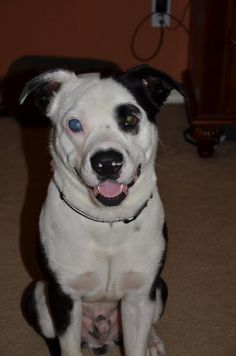 ★8/18/15 SL★Meet Chance, a Petfinder adoptable American Staffordshire Terrier Dog | Houston, TX | Hi--my name is Chance, and my wonderful foster mom rescued me from the streets. I've been with her...