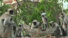 """""""O Grito do Bicho"""": A emoção de um grupo de macacos que choram a morte..."""