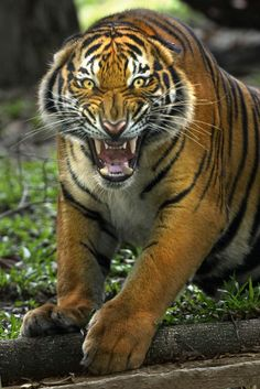 Tiger by toonman blchin on Yikes! Big Cats, Cool Cats, Beautiful Cats, Animals Beautiful, Lion Tigre, Animals And Pets, Cute Animals, Wild Animals, Baby Animals