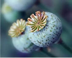 Poppy pods - poppy seeds can actually be dried together with poppy pods - it is…