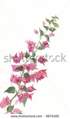 The hand drawn watercolor of a bougainvillea branch in bloom