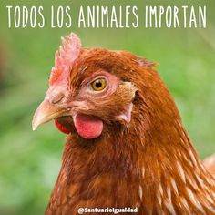 Todos los animales importan  En la foto Violeta una gallina rescatada de morir dentro de la cruel industria del huevo que hoy vive libre y feliz en el Santuario :) -- #animals #animal #photooftheday #cute #pets #instagood #animales #cute #love #nature #animallovers #nature #beautiful #pretty #happy #instadaily #amazing #instalike #friends  #mothernature #instachile #inspiration #rescue #inspirational #vegan #vegan #govegan #duck #animalsanctuary #farmsanctuary #hen #chicken