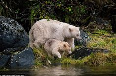 Kyle Breckenridge, took the incredible series of photographs in the Great Bear Rainforest, British Columbia, Canada, after traveling an hour and a half by paddle boat on the river to reach the area. Spirit Bear, Spirit Animal, Black Bear, Brown Bear, Baby Animals, Cute Animals, Wild Animals, Rare Albino Animals, Love Bear