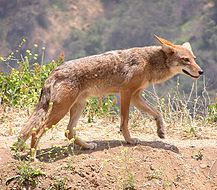 """El coyote (Canis latrans, que significa """"perro ladrador"""") es una especie de mamífero carnívoro de la familia Canidae. Los coyotes sólo se en..."""