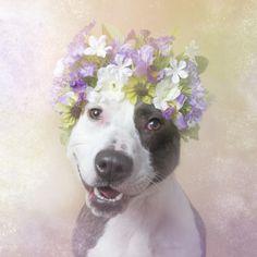 « Flower Power » : les portraits fleuris de pitbulls - Hank - Photo : Sophie Gamand