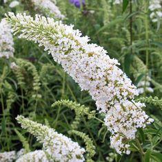 viburnum plicatum mariesii garden pinterest belle. Black Bedroom Furniture Sets. Home Design Ideas