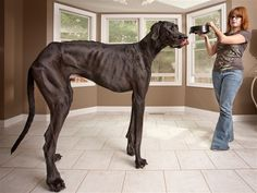 Three-year-old Great Dane Zeus and his owner Denise Doorlag in Michigan. On his hind legs, he towers over her at Zeus is featured in the new Guinness World Records 2013 book as the tallest dog ever. zeus needs to eat more. Lap Dogs, Dogs And Puppies, Doggies, Great Dane Puppies, Corgi Puppies, World's Tallest Dog, Great Dane Names, Huge Dogs, Giant Dogs