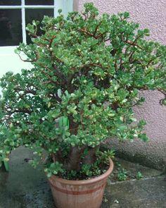Arbre de Jade (Crassula ovata ou Crassula argentea), plante d'intérieur en pot
