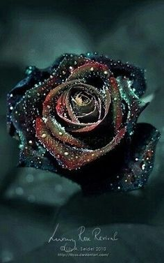 Black and dying looking rose.
