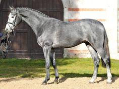 Holsteiner - stallion Cornet de Lux