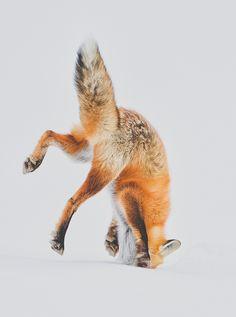 fox diving into snow