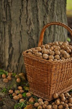 Gardening Autumn - Ripe Walnuts in a Basket . Que de régal en perspective avec toute ces belles noix ! - With the arrival of rains and falling temperatures autumn is a perfect opportunity to make new plantations